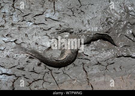 Catfish in the mud of a drying pond, during dry season, Masai-Mara game reserve, Kenya, February