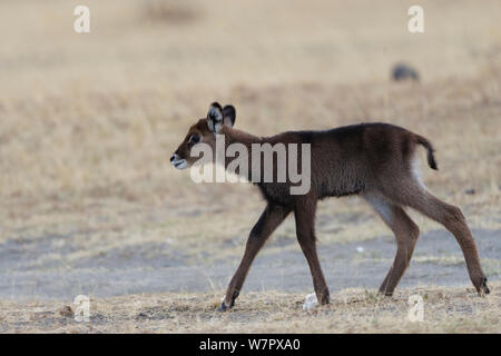 Defassa kob (Kobus ellipsiprymnus) calf, Masai-Mara game reserve, Kenya - Stock Photo