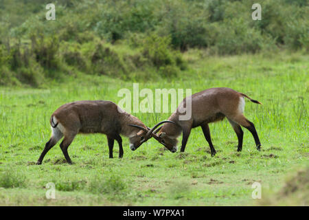 Defassa kob (Kobus ellipsiprymnus) males fighting, Masai-Mara game reserve, Kenya - Stock Photo