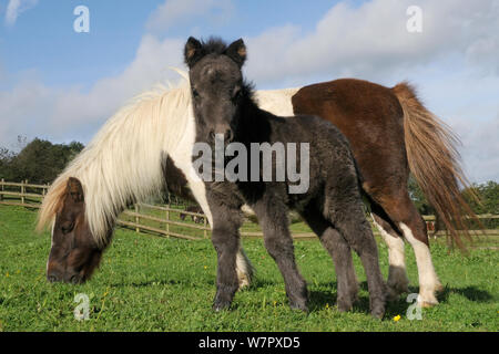 American miniature horse (Equus caballus) foal standing beside its mother as she grazes in a grassy paddock, Wiltshire, UK, September. - Stock Photo
