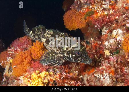 Kelpfish / Hiwihiwi (Chironemus marmoratus) Poor Knights Islands, New Zealand, February - Stock Photo