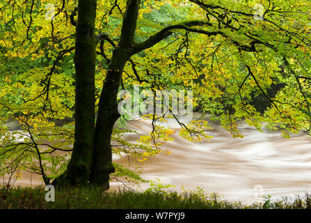 Beech (Fagus) in autumn at the Gannochy during flood of 12th of October 2012. - Stock Photo