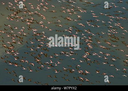 Aerial view of Lesser Flamingo (Phoenicopterus / Phoeniconaias minor) flying low over water. Lake Magadi, Kenya, February. - Stock Photo