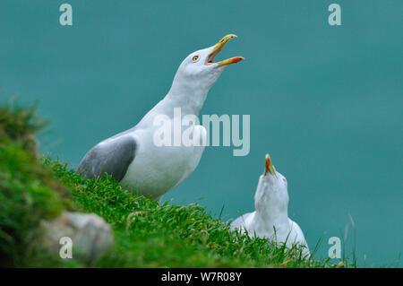 Two Herring gulls (Larus argentatus) calling, Etretat, Seine Maritime, Normandy, France, January.