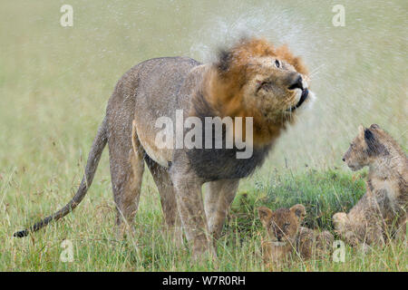 Lion (Panthera leo) male shaking off water from his mane, with cubs in the rain, Masai-Mara Game Reserve, Kenya. Vulnerable species. - Stock Photo