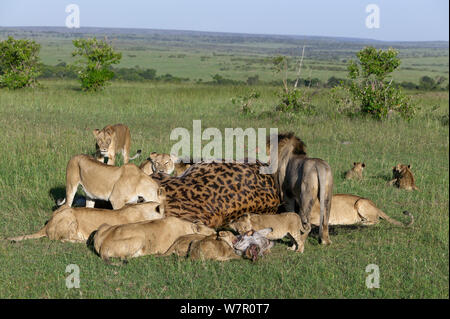 Lion (Panthera leo) pride feeding on Giraffe (Giraffa camelopardalis)  Masai-Mara, Kenya. Vulnerable species. - Stock Photo