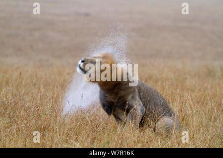 Lion (Panthera leo) male shaking water off mane after rain, Masai-Mara Game Reserve, Kenya. Vulnerable species. - Stock Photo