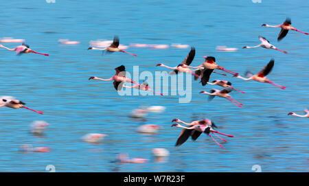 Lesser flamingos (Phoeniconaias minor) in flight over Lake Bogoria, Kenya - Stock Photo
