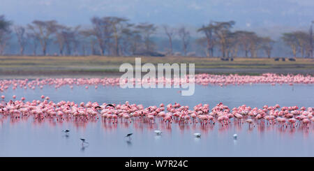 Lesser flamingo (Phoeiconaias minor) flock feeding, Lake Nakuru, Rift valley, Kenya, Africa - Stock Photo