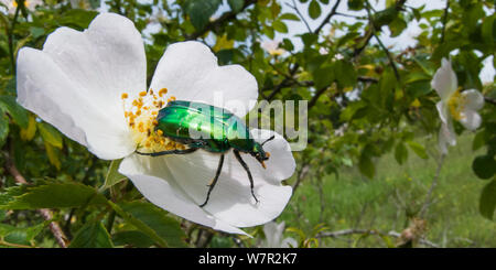 Rose Chafer beetle (Cetonia aurata) on rose flower, Torrealfina, Orvieto, Italy, May - Stock Photo