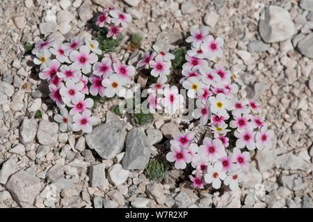 Rock Jasmine (Androsace villosa) in flower, Campo Imperatore, Gran Sasso, Italy, May - Stock Photo