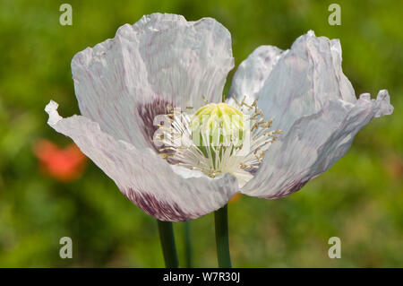 Opium Poppy (Papaver somniferum) on flower near Sorano, Tuscany, Italy, June - Stock Photo