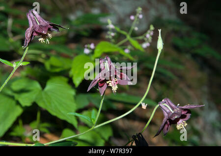 Dark Columbine (Aquilegia atrata) in flower, in ancient pine and mixed woodland, Val di Vallesinella near Madonna di Campiglio, Brenta Dolomites, Italy, July - Stock Photo