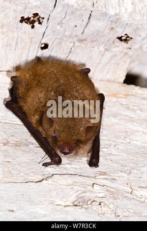 Kuhl's Pipistrelle Bat (Pipistrellus kuhli) roosting in old house near Orvieto. Italy, July