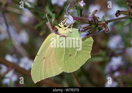 Cleopatra butterfly  (Gonepteryx cleopatra) male feeding,  near Pescia Romana, Lazio, Italy, October - Stock Photo