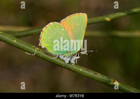 Green Hairstreak butterfly (Callophrys rubi) on Spanish broom (Junceum spartium). Torrealfina, Orvieto, Italy, April - Stock Photo