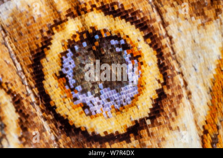 Butterfly scales, Cynthia cardui, St Helena, scale patterns spot on underside - Stock Photo
