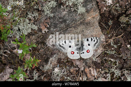 Mountain Apollo (Parnassius apollo) male resting on rock, Finland, July - Stock Photo