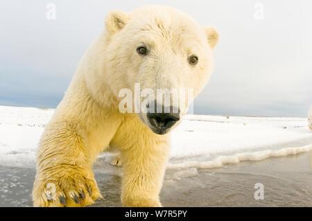 Polar bear (Ursus maritimus) yearling along a barrier island during autumn freeze up, Bernard Spit, 1002 area of the Arctic National Wildlife Refuge, North Slope, Alaska - Stock Photo