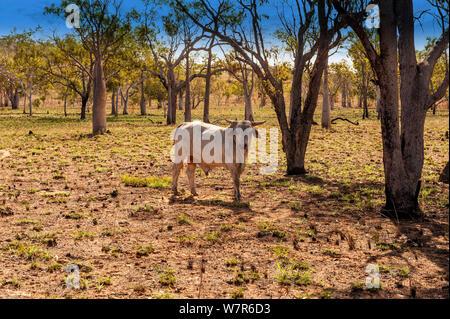 Brahman bull in outback, Kimberley station, Old Halls Creek Track, Parry Creek Farm Wyndham, Western Australia - Stock Photo