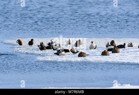 Stellers Eider (Polysticta stelleri) a small group resting on an ice flow, Batsfiord. North Norway, March. - Stock Photo