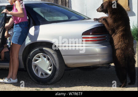 Juvenile American black bear (Ursus americanus), brown phase, standing upright and leaning on a car, Denver, Colorado, USA, July. - Stock Photo