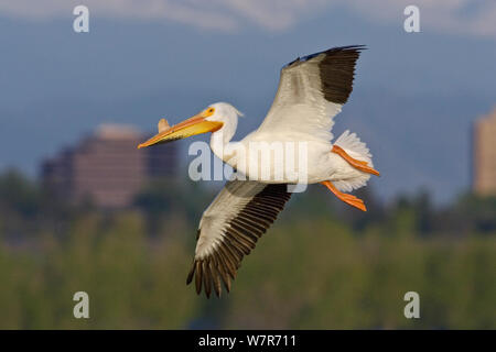 American white pelican (Pelecanus erythrorhynchos) in breeding condition, with bill horn growth, Cherry Creek State Park, Denver, Colorado, USA, July. - Stock Photo
