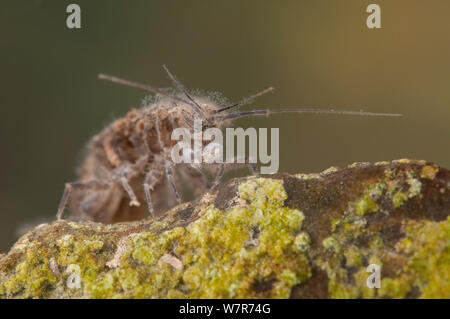 Water louse (Asellus aquaticus) Europe, July, controlled conditions - Stock Photo