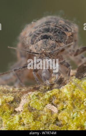 Water louse (Asellus aquaticus) head detail, Europe, July, controlled conditions - Stock Photo