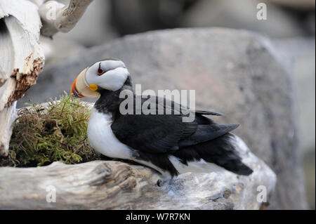 Horned Puffin (Fratercula corniculata) sitting on rocks, Alaska, USA, June - Stock Photo