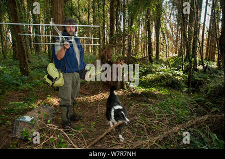 Pete Turner radio tracking pine martens (Martes martes) accompanied by border collie dog, Pine marten research by the Waterford Institute of Technology, Ireland.  August 2008 - Stock Photo