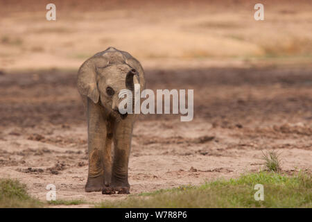 Juvenile African forest elephant (Loxodonta africana cyclotis) smelling the air, Dzanga Bai, Dzanga-Ndoki National Park, Central African Republic - Stock Photo