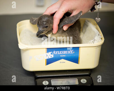 African penguin (Spheniscus demersus) chick being weighed, part of Chick Bolstering Project, Southern African Foundation for the Conservation of Coastal Birds (SANCCOB), South Africa captive May 2012. - Stock Photo