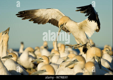 Cape gannet (Morus capensis) landing in colony, Bird Island Nature Reserve, Lambert's Bay, West Coast, South Africa. - Stock Photo