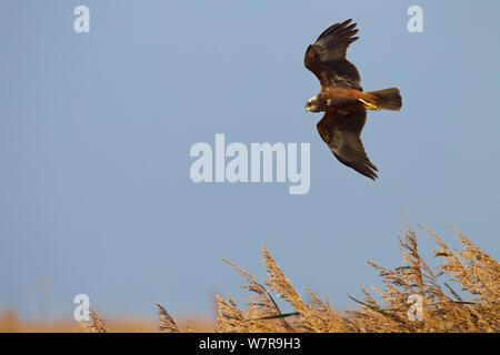 Marsh Harrier (Circus aeruginosus) in flight over Strumpshaw Fen reedbed, Norfolk - Stock Photo