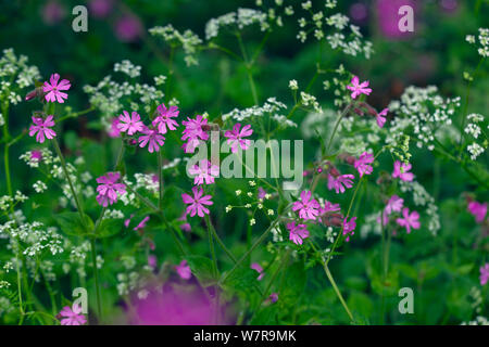 Red Campion (Silene dioica) and Hedge parsley (Torilis arvensis) growing on roadside verge - Stock Photo