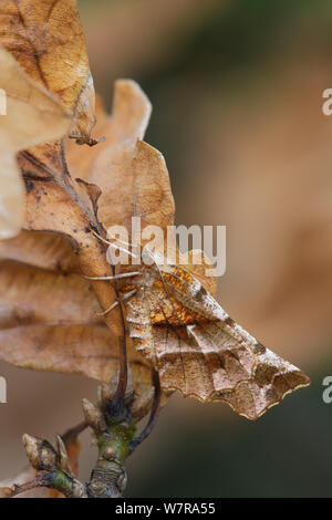 Early thorn (Selenia dentaria) on oak, in mature woodland, Banbridge, County Down, Northern Ireland, March - Stock Photo