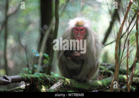 Yaku-shima macaque (Macaca fuscata yakui) mother and baby, Yakushima UNESCO World Heritage Site, Kagoshima, Japan, June - Stock Photo