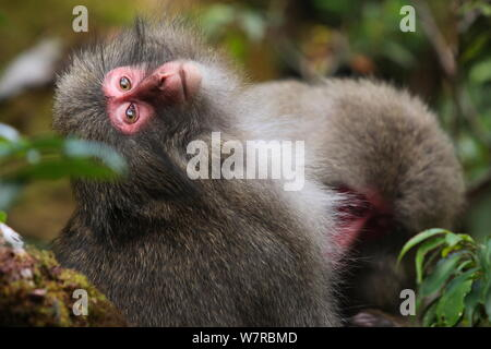 Yaku-shima macaque (Macaca fuscata yakui) being groomed by another member of the troop, Yakushima UNESCO World Heritage Site, Kagoshima, Japan, September - Stock Photo