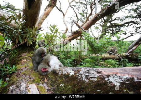 Yaku-shima macaque (Macaca fuscata yakui) grooming another member of the troop, Yakushima UNESCO World Heritage Site, Kagoshima, Japan, September - Stock Photo