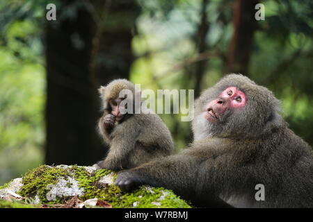 Yaku-shima macaque (Macaca fuscata yakui) dominant female and baby, Yakushima UNESCO World Heritage Site, Kagoshima, Japan, September - Stock Photo
