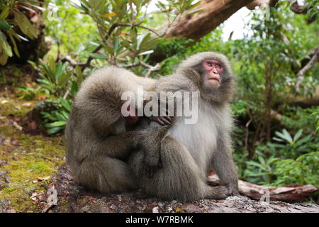 Yaku-shima macaque (Macaca fuscata yakui) grooming another member of the troop, Yakushima UNESCO World Heritage Site, Kagoshima, Japan, September - Stock Photo