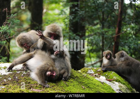 Yaku-shima macaques (Macaca fuscata yakui) grooming each other, with young baby, in the background another baby with its mother, Yakushima UNESCO World Heritage Site, Kagoshima, Japan, September - Stock Photo