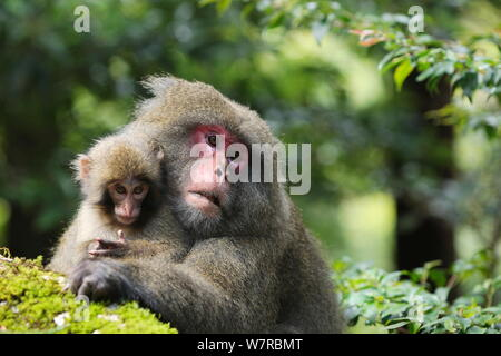 Yaku-shima macaque (Macaca fuscata yakui) dominant female with baby, Yakushima UNESCO World Heritage Site, Kagoshima, Japan, September - Stock Photo