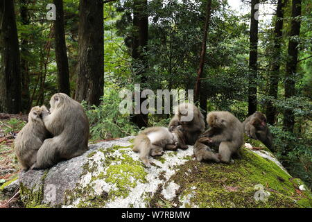 Yaku-shima macaques (Macaca fuscata yakui) grooming each other, Yakushima UNESCO World Heritage Site, Kagoshima, Japan, September - Stock Photo