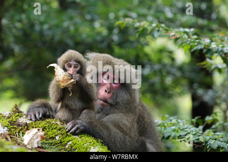 Yaku-shima macaque (Macaca fuscata yakui) dominant female with baby, playing with leaf, Yakushima UNESCO World Heritage Site, Kagoshima, Japan, September - Stock Photo