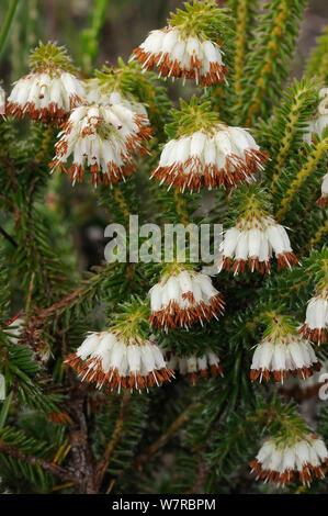 Ruffle Heath (Erica bruniflora) deHoop Nature reserve, Western Cape, South Africa. - Stock Photo