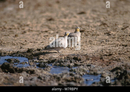 Crowned Sandgrouse (Pterocles coronatus atratus) male and female on the ground, Touran Protected Area, now part of Khar Turan National Park, Semnan Province, Iran - Stock Photo