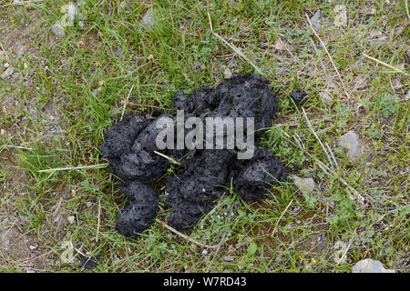 Himalayan Brown Bear (Ursus arctos isabellinus) droppings, Dashti Jum Reserve, Tadjikistan, April - Stock Photo