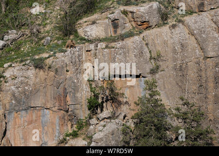 Himalayan Brown Bear (Ursus arctos isabellinus)  looking down the valley from a cliff, Dashti Jum Reserve, Tadjikistan, April 2012 - Stock Photo